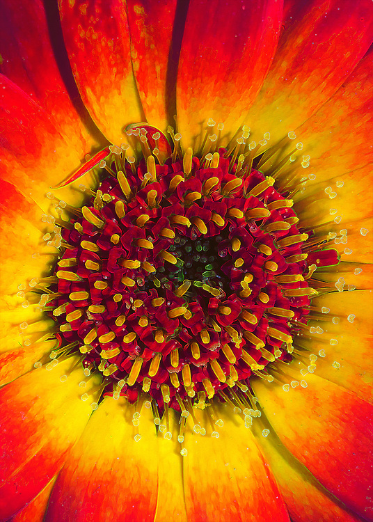 A bold closeup of a gerber daisy flower heart with a highlight on the details.