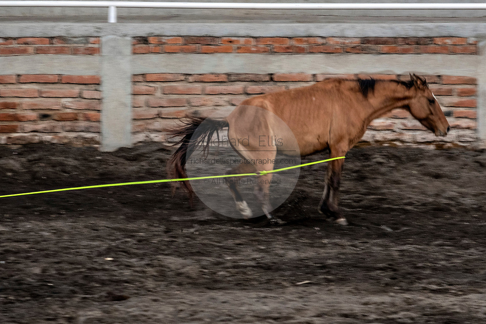 A wild mare stops after being roped by eight-year-old Juan Franco, from the legendary Franco family of Charro champions, during a practice session in the Jalisco Highlands town of Capilla de Guadalupe, Mexico. The roping event is called Manganas a Pie or Roping on Foot and involves a charro on foot roping a wild mare by its front legs to cause it to fall and roll once. The wild mare is chased around the ring by three mounted charros.