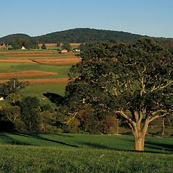 Sharon, CT.  An Oak tree in a  field in the Litchfield Hills of western Connecticut.  Twin Oaks Farm (Sharon Land Trust.)