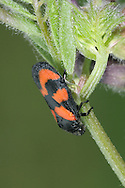 Red-and-black froghopper - Cercopis vulnerata