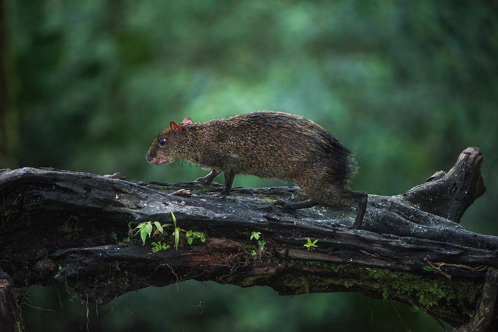 Agouti (Dasyprocta punctata)<br /> Mashpi Rainforest Biodiversity Reserve<br /> Pichincha<br /> Ecuador<br /> South America
