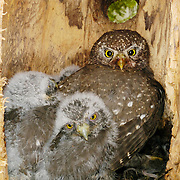 Northern Pygmy Owl (Glaucidium gnoma) female with chicks in a tree in Montana during the summer.