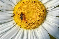 Oxeye Daisy (Leucanthemum vulgare) close-up with a fly, Gabriola, British Columbia, Canada