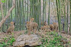 The BingwaBunch the largest litter of cheetah cubs - 28 Nov 2018