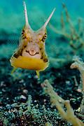 Longhorn cowfish (Lactoria comuta), Lembeh Strait, Indonesia
