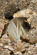 Yellowbarred Jawfish peers out from it's hole with it's mouth full of eggs which it carries for protection.(Opistognathus sp.).Lembeh Straits,Indonesia
