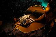 Great spider crab (Hyas araneus) on kelp (Laminaria hyperborea), Atlantic Ocean, Strømsholmen, North West Norway | Im Schutze des Palmentangs (Laminaria hyperborea) lebt die Nordische Seespinne (Hyas araneus). Atlanischer Ozean, Strømsholmen, Norwegen