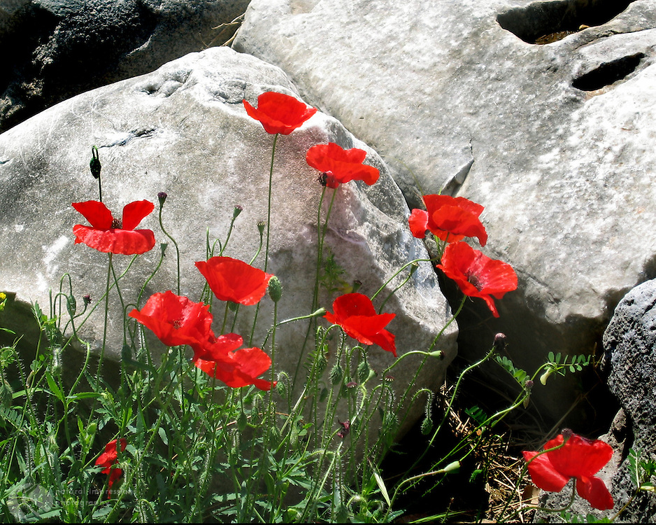 Amongst the ruins of the Forum, these red poppies grow wild in Rome.