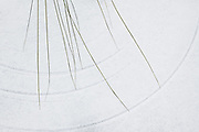 Tops of grasses drawing circles in freshly fallen snow, Jūrmala, Latvia Ⓒ Davis Ulands | davisulands.com
