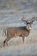 Whitetail deer (Odocoileus virginianus)Montana buck during autumn rut
