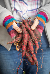 Handful of freshly harvest sweet potatoes.