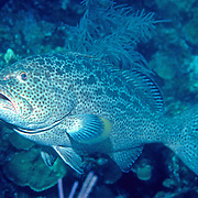 Yellowfin Grouper inhabit reefs in Tropical West Atlantic; picture taken Roatan, Honduras.