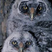 Great Gray Owl, (Strix nebulosa) Portrait of 5 week old chicks. Spring.  Montana.