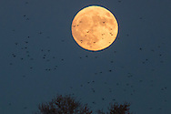 Middletown, New York - Crows fly in front of the rising moon on Nov. 13, 2016.