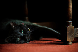 Pet cat lying and stretching on a living room carpet, England, United Kingdom.