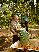Peach Picker emptying his collection bag into a peach hopper out in the peach orchard. Shot as a Environmental Portraiture in California on a PhaseOne IQ180