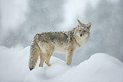 Coyote (Canis latrans) in winter