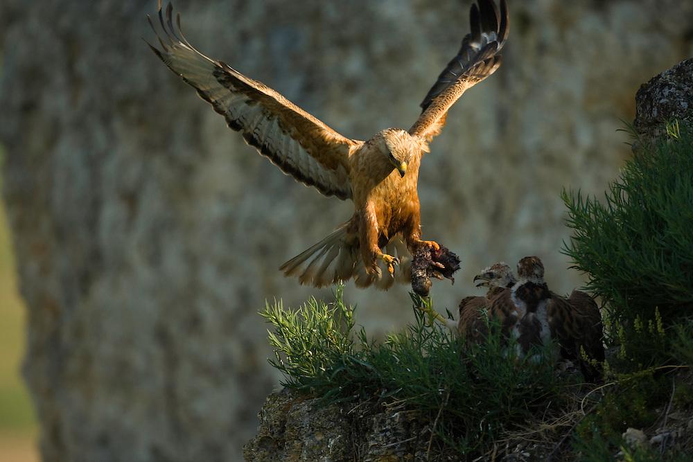 Long-legged Buzzard (Buteo rufinus) alighting at the aerie, feeding its young, (Germ) Adlerbussard bringt Beute zum Horst, near Nikopol, Bulgaria