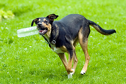 Wallace Walk 31 July  Copyright Paul David Drabble Young playful Black and Tan juvenile mongrel dog plays with a discarded plastic bottle found in the park