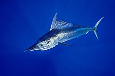 Short-billed Spearfish