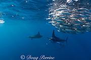 striped marlin, Kajikia audax (formerly Tetrapturus audax ), feeding on baitball of sardines or pilchards, Sardinops sagax, off Baja California, Mexico ( Eastern Pacific Ocean ) #1 in sequence of 7