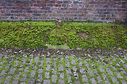 Build up of healthy looking green moss on an old wall. London, UK. Mosses are small flowerless plants that usually grow in dense green clumps or mats, in damp or shady locations. The individual plants are usually composed of simple, one-cell thick leaves, covering a thin stem that supports them but does not conduct water and nutrients.