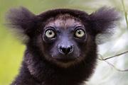 Indri (Indri indri) in the forest at Palmarium Nature Reserve, Madagascar.