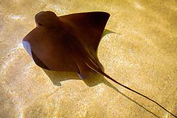 California bat ray ( c ), Myliobatis californica, California, East Pacific Ocean