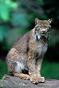 Portrait of a lynx (Felis lynx). Note the oversized feet for navigating deep snow. Washington.