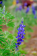 Flowering Blue Lupin. Photographed in March