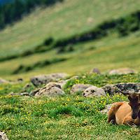 Doe elk sitting in meadow, Rocky Mountain National Park, Colorado