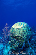 head of star coral, Montastrea annularis, being killed by black band disease, caused by Phormidium corallyticum and other cyanobacteria, Bahamas ( Western Atlantic Ocean )