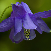 Purple Columbine portrait against green background.