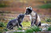 Arctic Wildlife & Nature