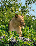 Lioness resting on rocky rim of river channel of the Chobe River, green foliage, low angle view, Chobe National Park, Botswana. © David A. Ponton
