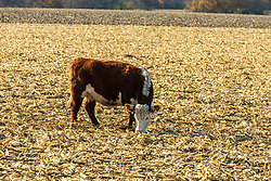 Hereford cow eating left over food from a picked corn field