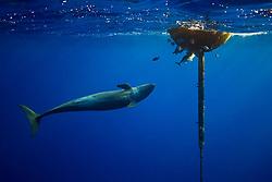 False Killer Whale, Pseudorca crassidens, hunting for a lone Yellowfin Tuna, Thunnus albacares, which is taking refuge under the FAD (Fish Aggregation Device), off Kohala Coast, Big Island, Hawaii, USA, Pacific Ocean