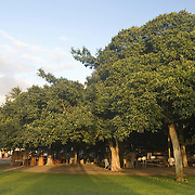 Maui, Hawaii - The Banyan Tree at Courthouse Square in Lahaina is the largest of its kind in the state, covering 2/3 of an acre. Planted in 1873, it is a landmark and popular meeting place.