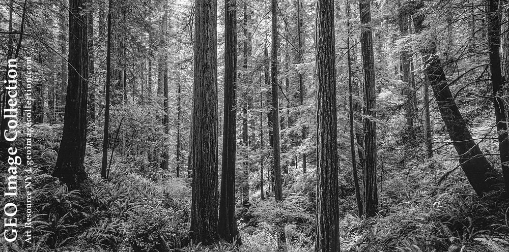 Wide-angle view of a stand of redwood trees (Sequoia sempervirens).