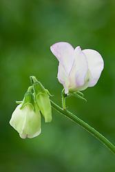 Lathyrus odoratus 'Hi Scent'. Sweet pea