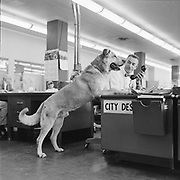 Y-580702B-11. The real Lassie visits Oregonian reporter Phyllis Lauritz. Over the twenty years that the television episodes were filmeed, six different dogs were cast for the Lassie role. This is Lassie Junior, who did all the episodes filmed from 1954 to to 1959, except the first two pilots which were done by his father, Pal. July 2, 1958.