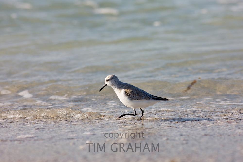 Sanderling, Calidris alba, on shoreline at Anna Maria Island, Gulf of Mexico, Florida, USA