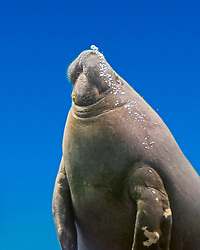 African manatee, West African manatee or seacow, Trichechus senegalensis, vulnerable species, West Africa, from Senegal to Angola