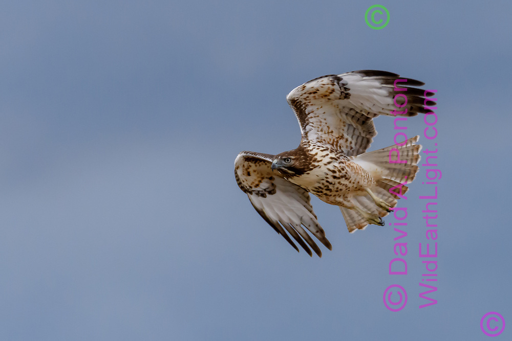 Juvenile red-tailed hawk flying hard across the wind, © David A. Ponton [Prints to 8x12, 16x24, 24x36 or 40x60 in. with no cropping]