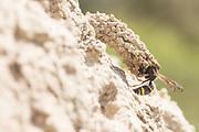 Mason wasp (Odynerus spinipes?) constructing chimney at nest burrow entrance. Dorset, UK.