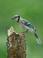 Blue Jay - Cyanocitta cristata - Juvenile