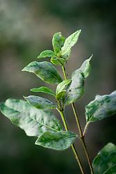Powdery mildew fungal damage on the foliage of Viburnum tinus