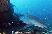 diver and tiger shark, Galeocerdo cuvier, off Durban, KwaZulu-Natal, South Africa ( Indian Ocean )