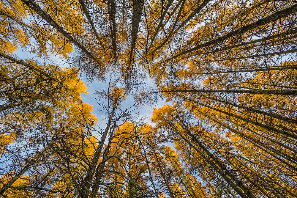 Tamarack trees (Larix spp.), forest canopy, October, Hubbard County, Minnesota, USA