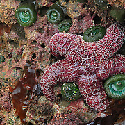 Starfish - Bandon, OR